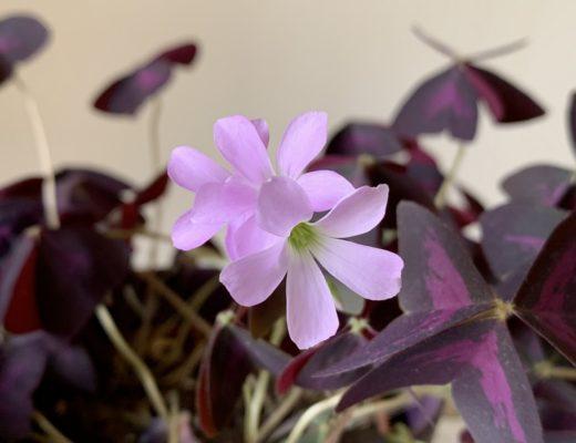Jolies fleur d oxalis triangularis pourpre