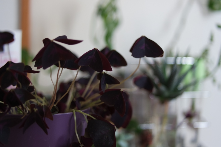 trefles oxalis triangularis pourpre au soir
