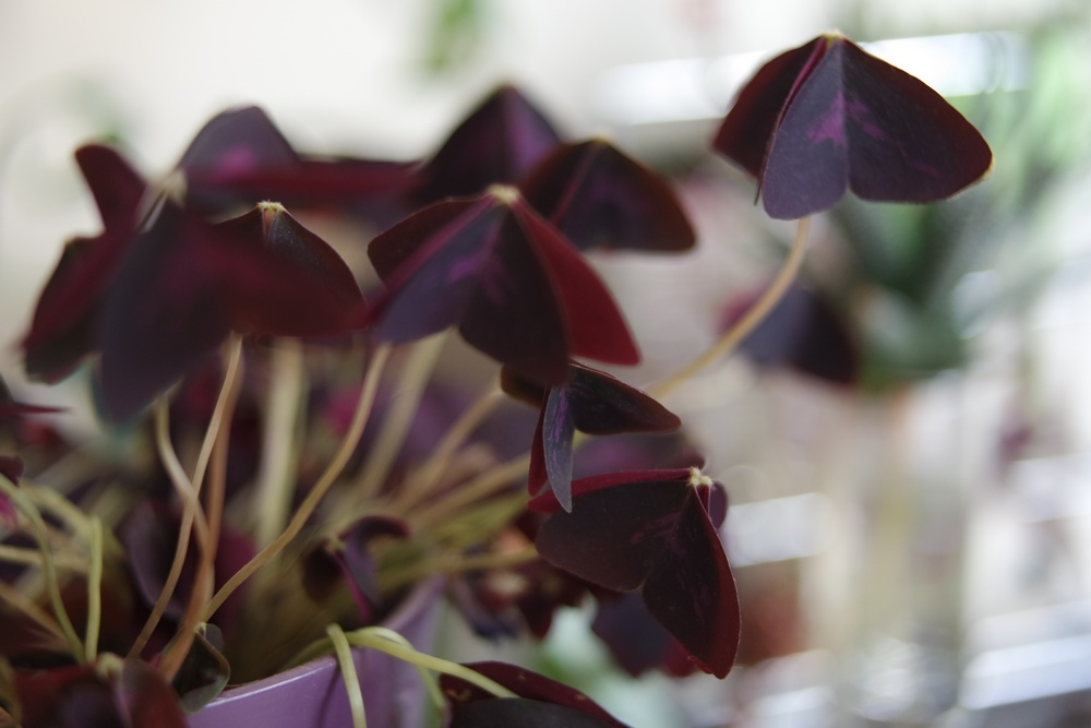 trefles oxalis triangularis pourpre repliés