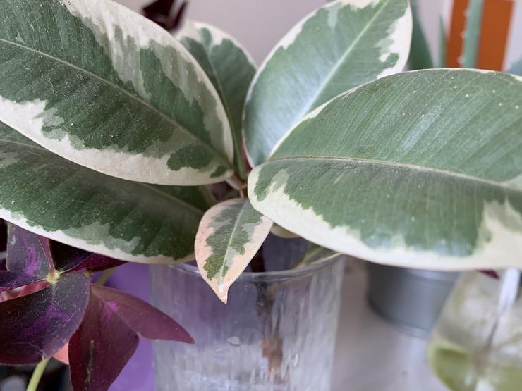 Faire pousser un Ficus Elastica dans de l eau