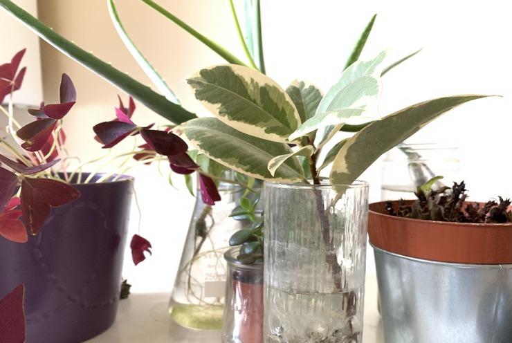 Faire pousser un Ficus Elastica en eau apres des mois