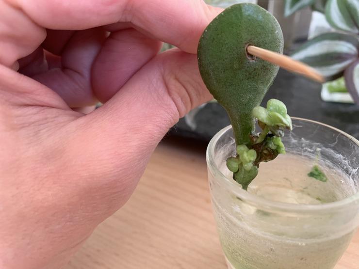 bouture feuille arbre de jade en eau au bout de plusieurs mois mini feuilles et racines