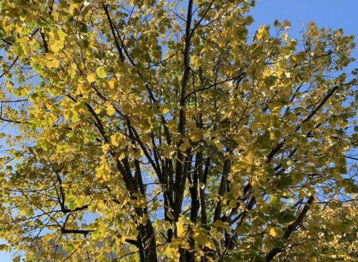 bel arbre aux couleurs d automne sur joli ciel bleu
