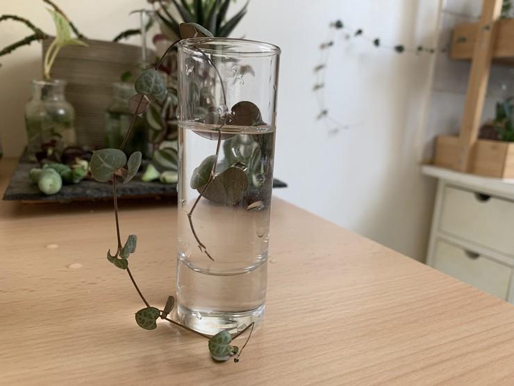 bouture de ceropegia woodii en eau chaine de coeur