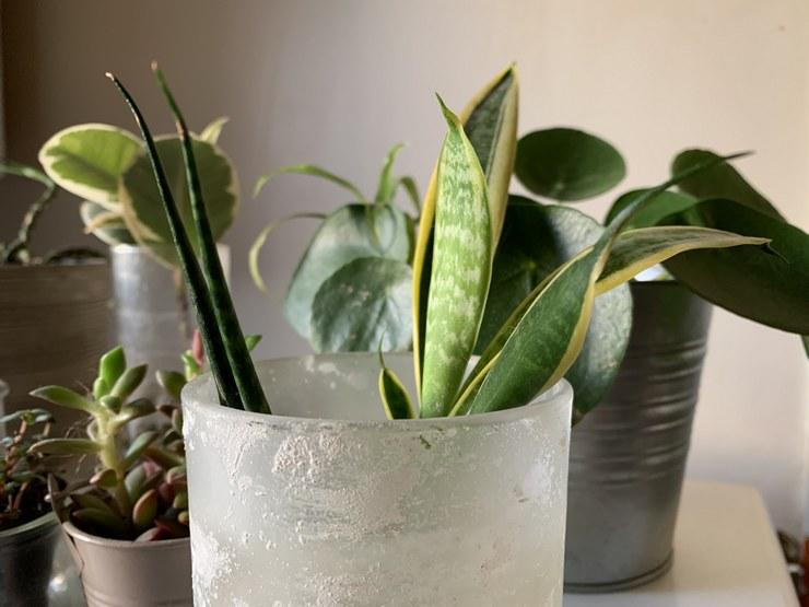 boutures sansevieria pousses des feuilles