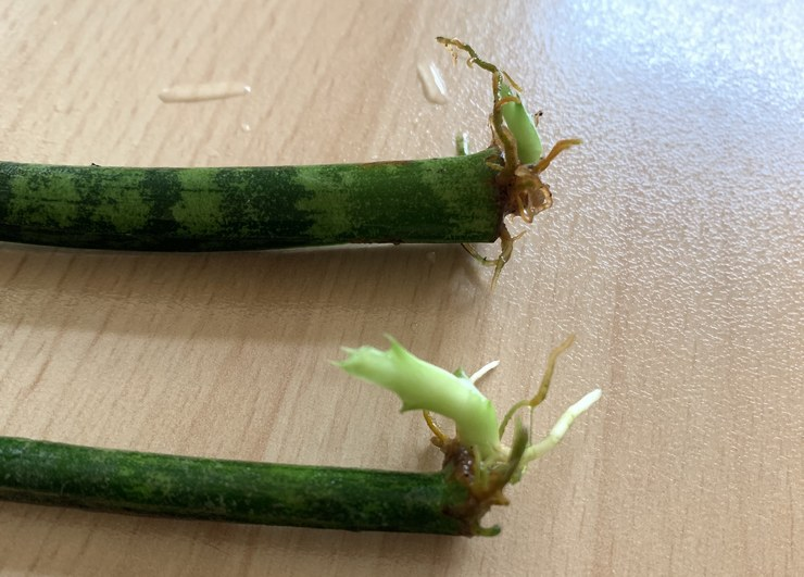 feuilles qui poussent sur boutures de sansevieria