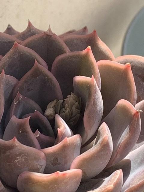 echeveria orion au soleil avec hampes florales