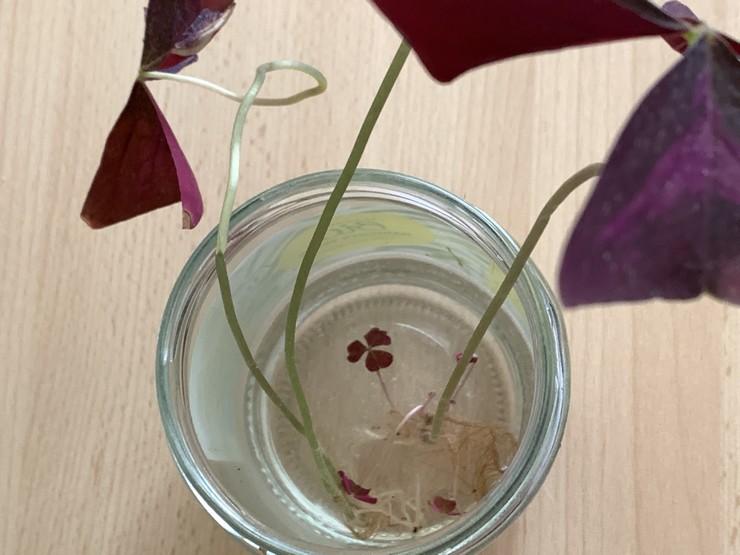 boutures d oxalis pourpre triangularis dans de l eau