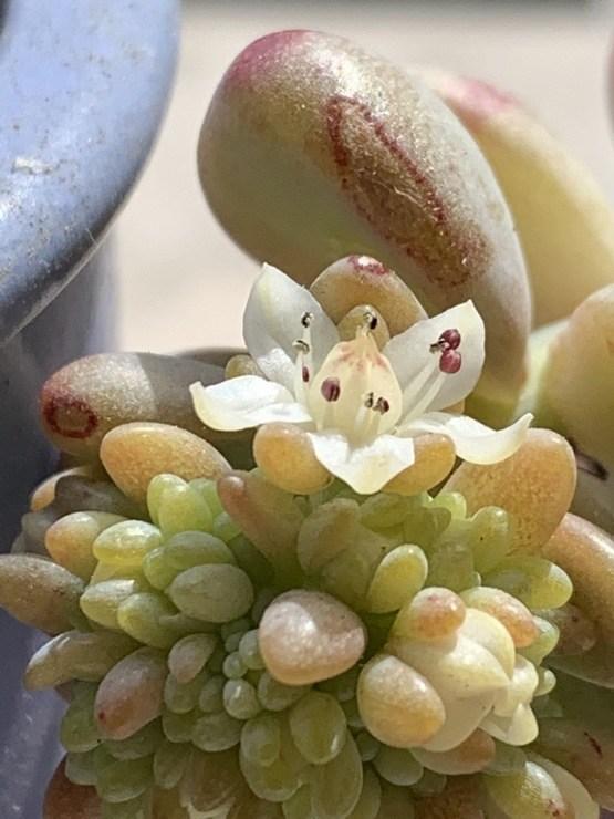 fleur de sedum trelasei