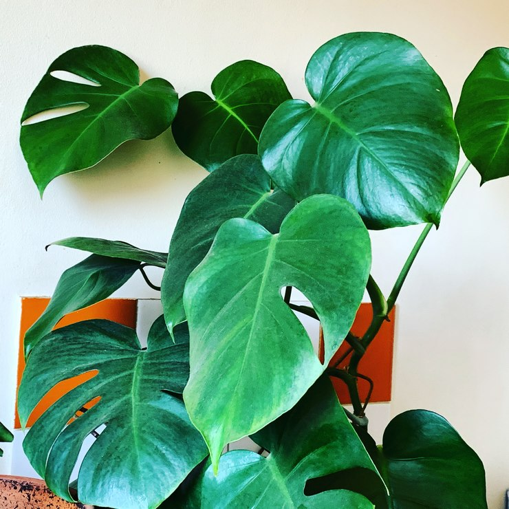 monstera deliciosa en eau 2020 belle et monstrueuse
