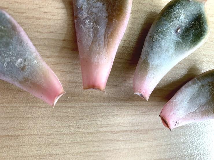 plaie de coupe de feuille de plante grasse pour bouture
