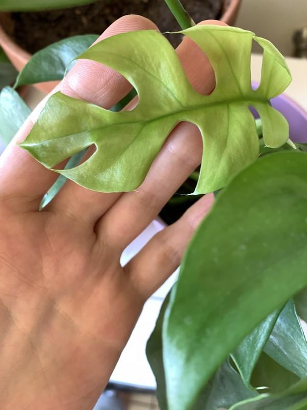 nouvelle feuille de Rhaphidophora tetrasperma Monstera Minima