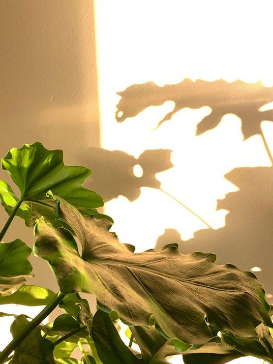 philodendron selloum et lumiere matinale d automne