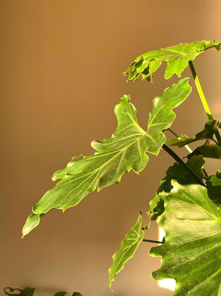 philodendron selloum lumière du matin