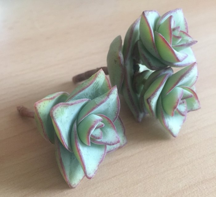 Boutures de crassula Perforata