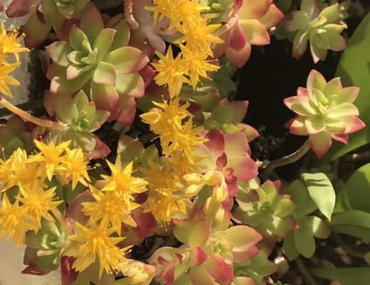 Fleur de sedum Palmeri
