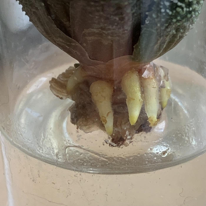 haworthia qui racine dans l'eau