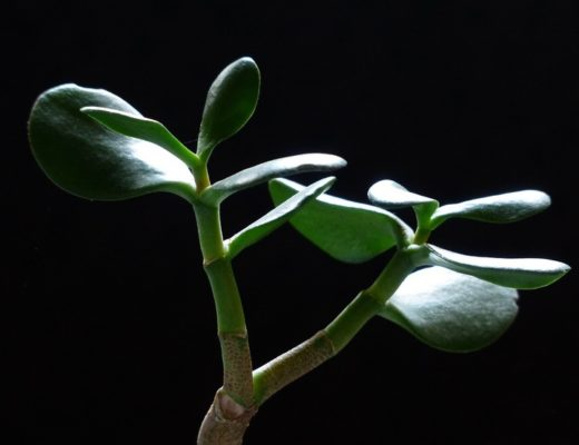 Money tree crassula ovata arbre de jade