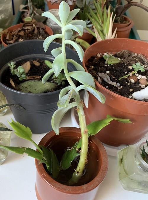étiolement classique de plante grasse tige allongée