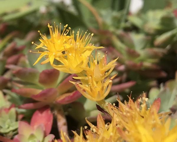 Floraison du sedum Palmeri