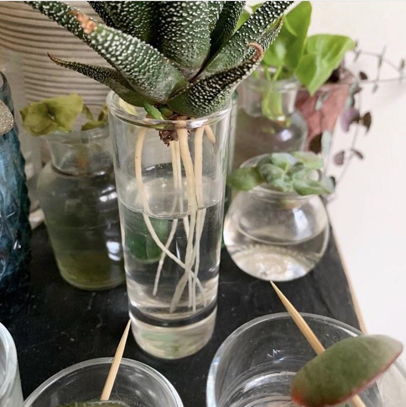 Haworthia en eau avec longues racines