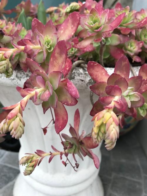 Sedum palmeri aux couleurs et feuillage hiver