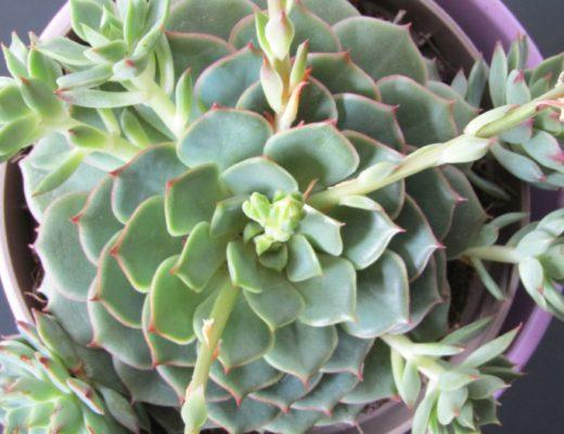Echeveria Ramillette