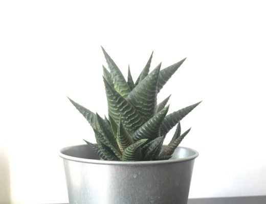 Haworthia Limifolia-Pot métallique