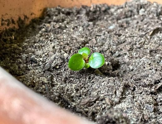 Petite pousse de pilea peperomiodes