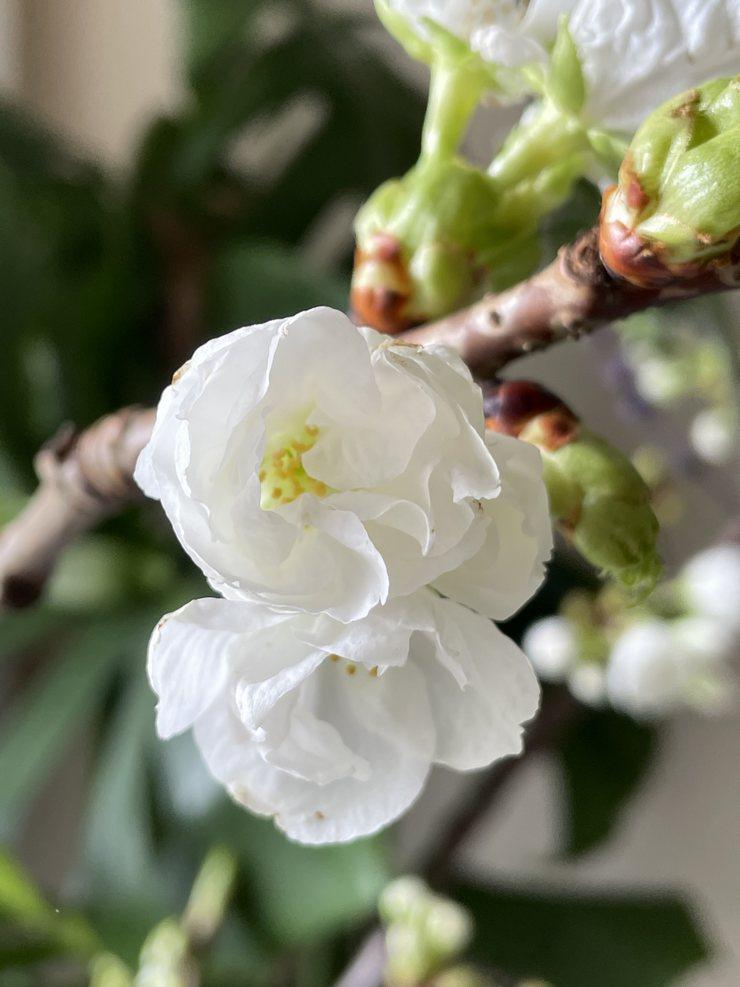 fleurs blanches de prunus printemps 2021 mars