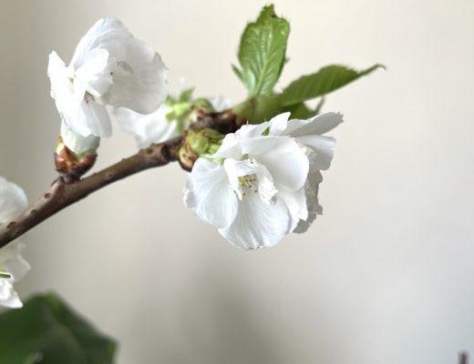 floraison de prunus avec le printemps
