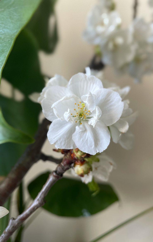 jolie floraison de prunus