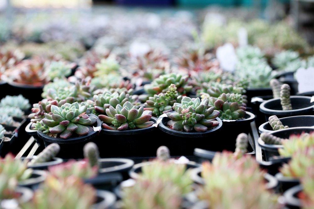 Multiples plantes grasses