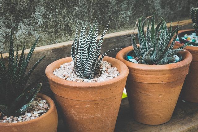 Plantes grasses haworthias en pot avec cailloux sur le substrat