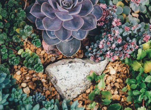 Plantes grasses succulentes de rocaille