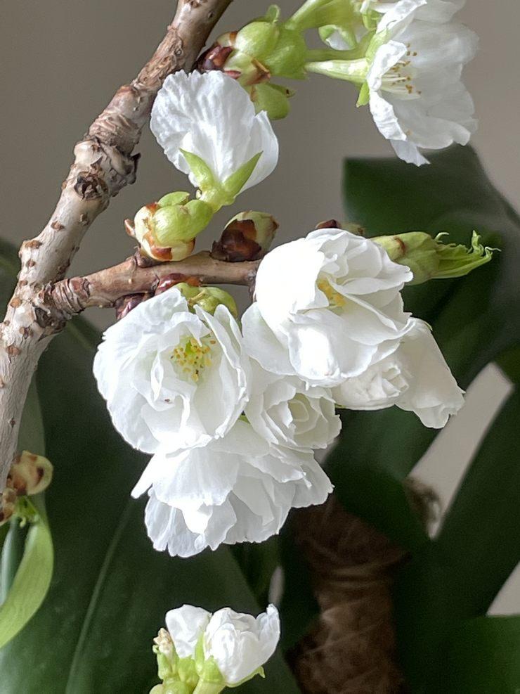 prunus fleurs blanches mars 2021 printemps