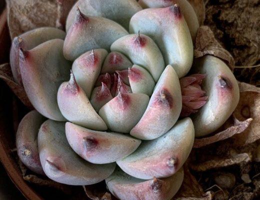 Echeveria chihuahuensis