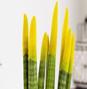 Sansevieria-cylindrica-peinte-en-jaune
