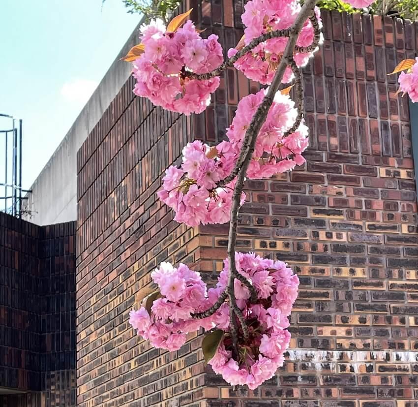 cerisiers japonais avril 2021