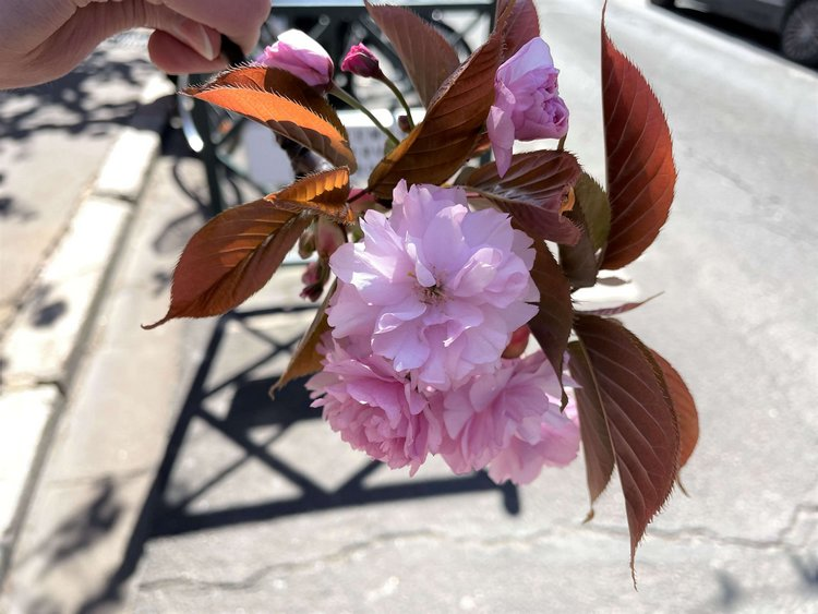fleurs de cerisiers avril 2021 asnieres sur seine