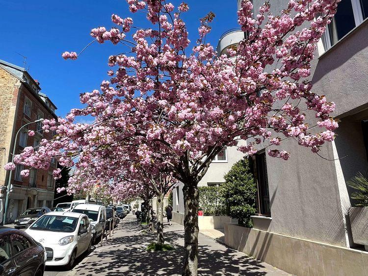 rang de cerisiers japonais avril 2021