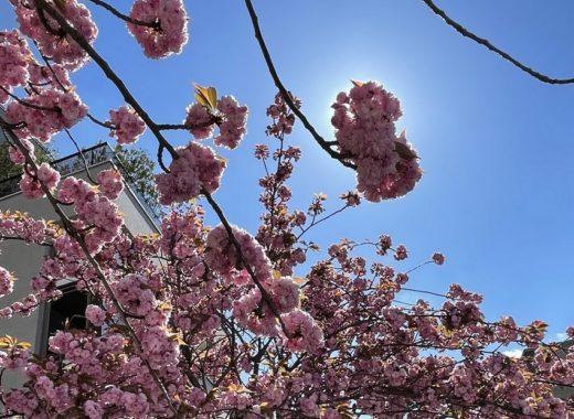 rue du rpc reverend gilbert arbres cerisiers japonais fleuris avril Z021