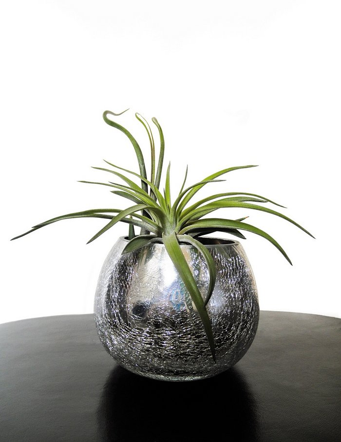 tillandsia-pot-brillant