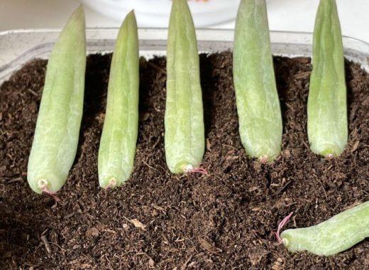 boutures de feuilles de senecio plante grasse
