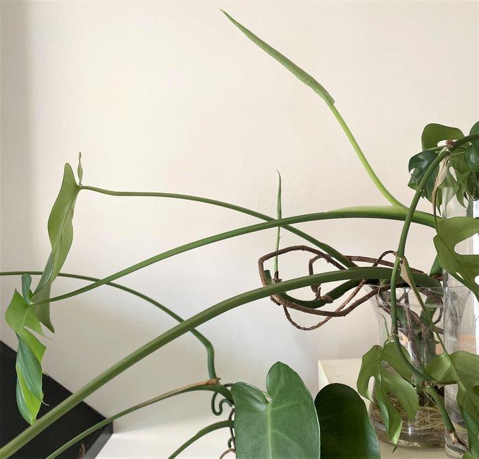 boutures de monstera deliciosa faux philodendron en troncon avec nouvelles feuilles