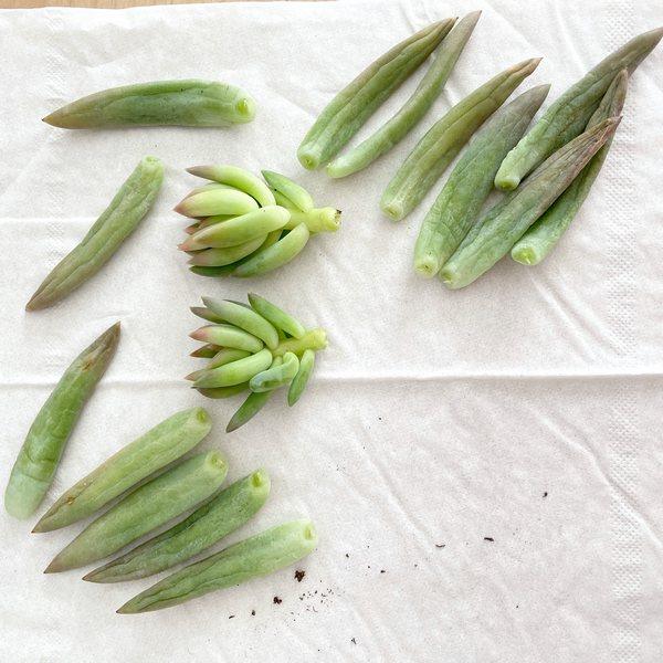 feuilles et tiges de senecio plante grasse pour boutures