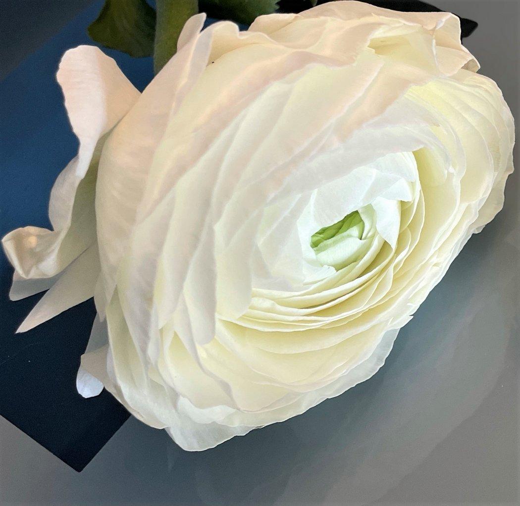 joli renoncule blanc de fevrier 2021
