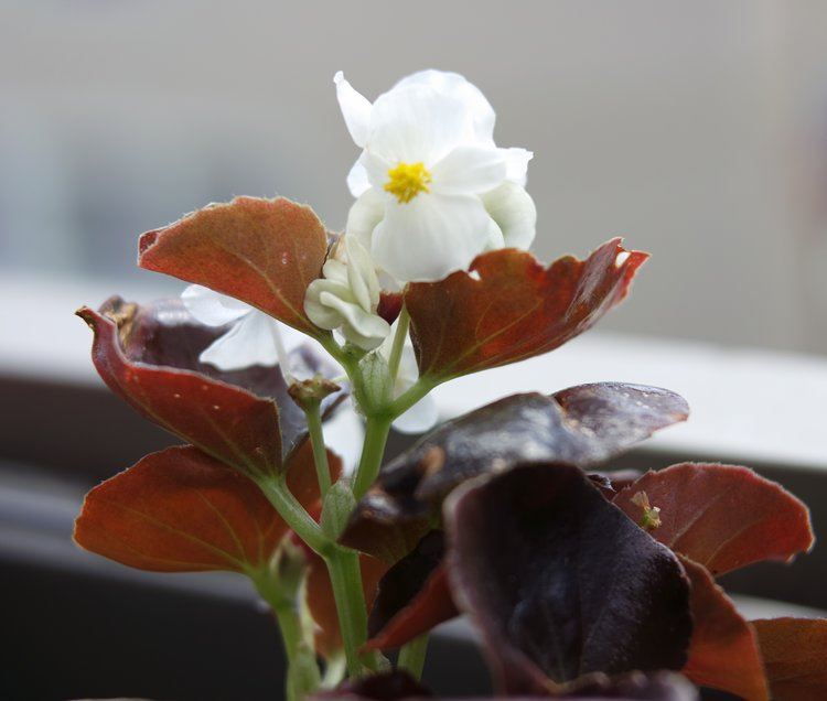 begonia blanc balcon