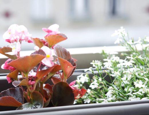 begonia et campanules blanches sur notre balcon asnierois