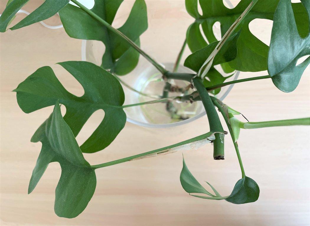 Étêter un Rhaphidophora tetrasperma pour le stimuler
